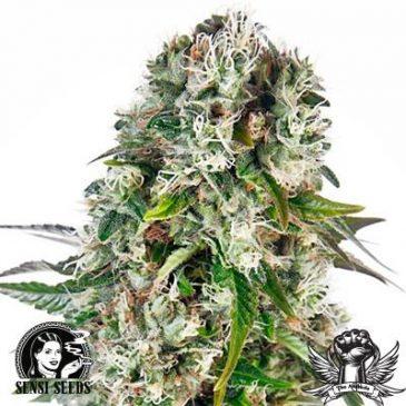 Vrste marihuane - Big Bud