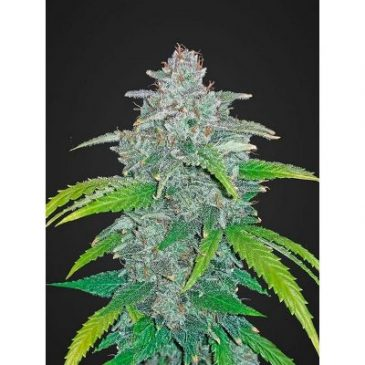 vrste marihuane blue dream