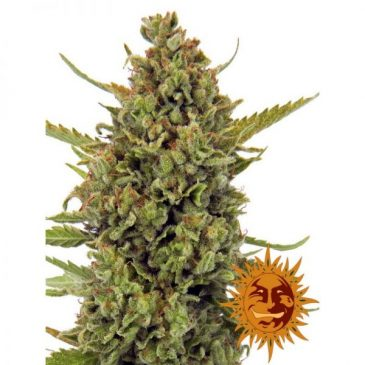 vrste marihuane acapulco gold