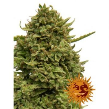 Vrste marihuane Pineapple chunk