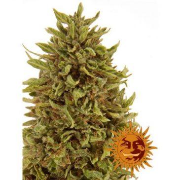 Vrste marihuane - Pineapple Express